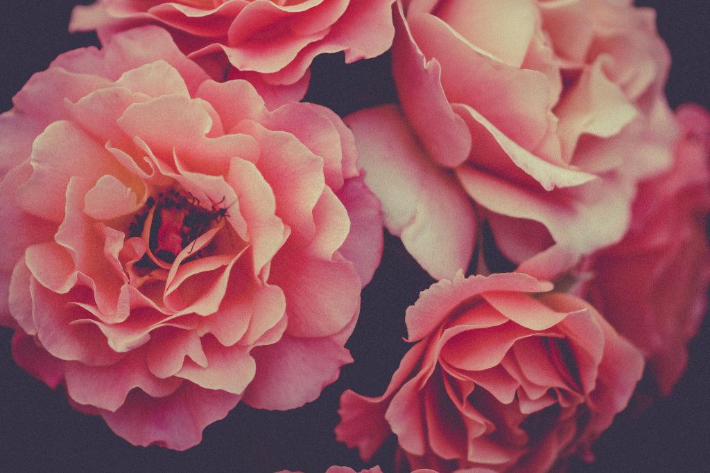 baltic-roses